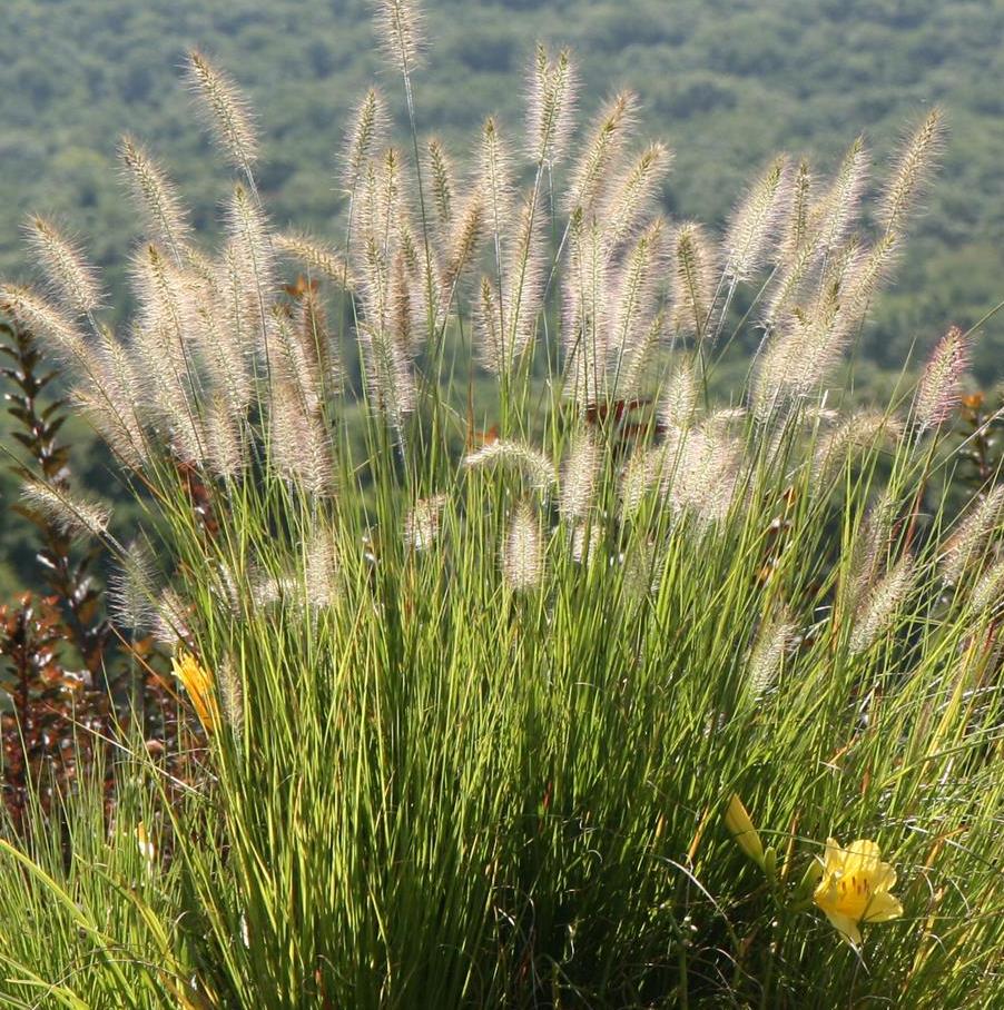 Ornamental_grass_picture