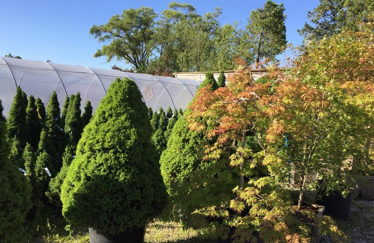 Nursery_Evergreens_Maples
