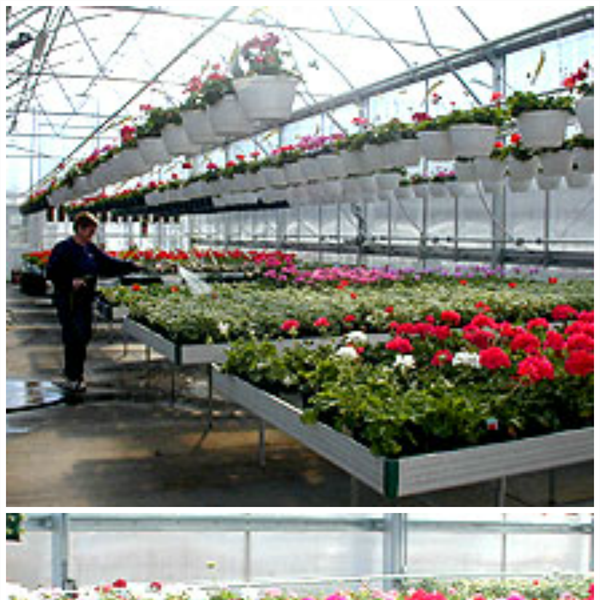 Greenhouse_geraniums