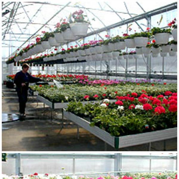 Greenhouse_geraniums