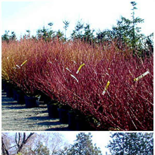 Potted_shrubs_outdoor