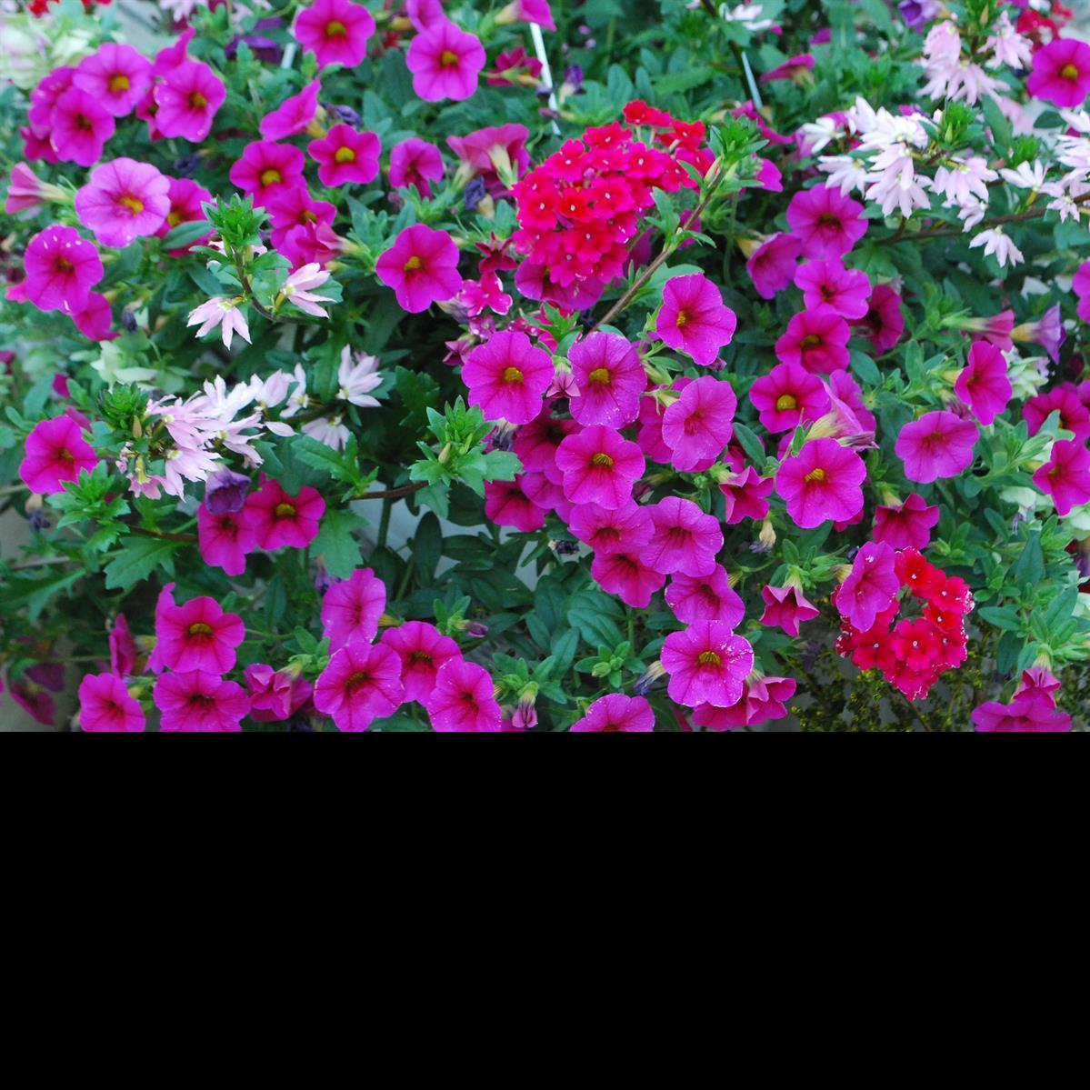 annual plants pharo garden centre