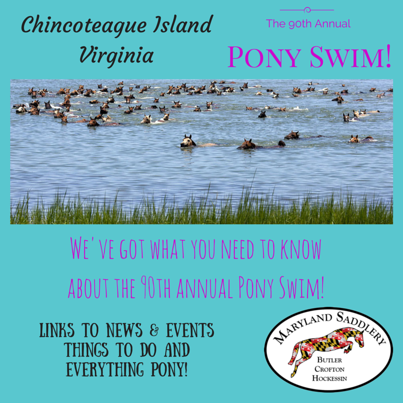 chincoteague pony swim info 2015