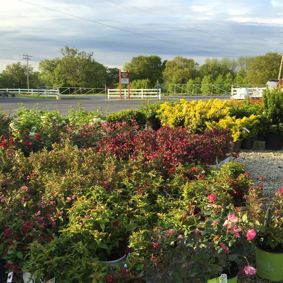 Shrubs_Flowering_Plants