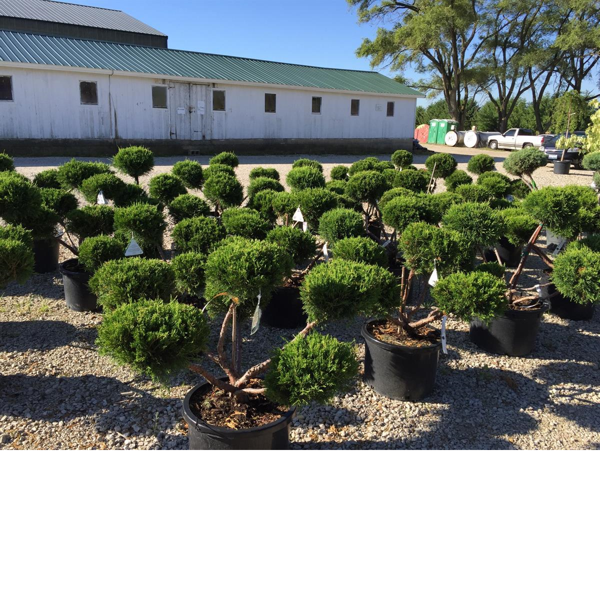 Evergreens_Plants_Shrubs