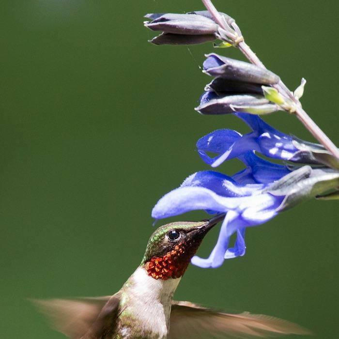 Hummingbird, hummingbirds, flower, salvia, Ruby-throat