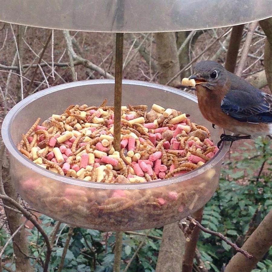Bird seed, bluebird feeder, suet kibbles, mealworms, Droll Yankee, X-1