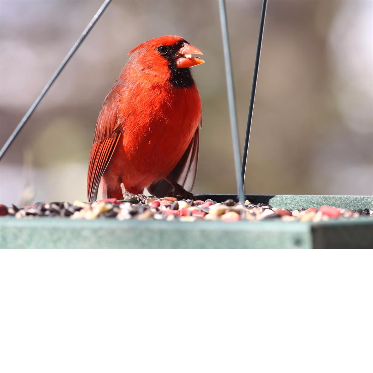 bird food, bird seed, platform feeder, tray feeder, cardinal food