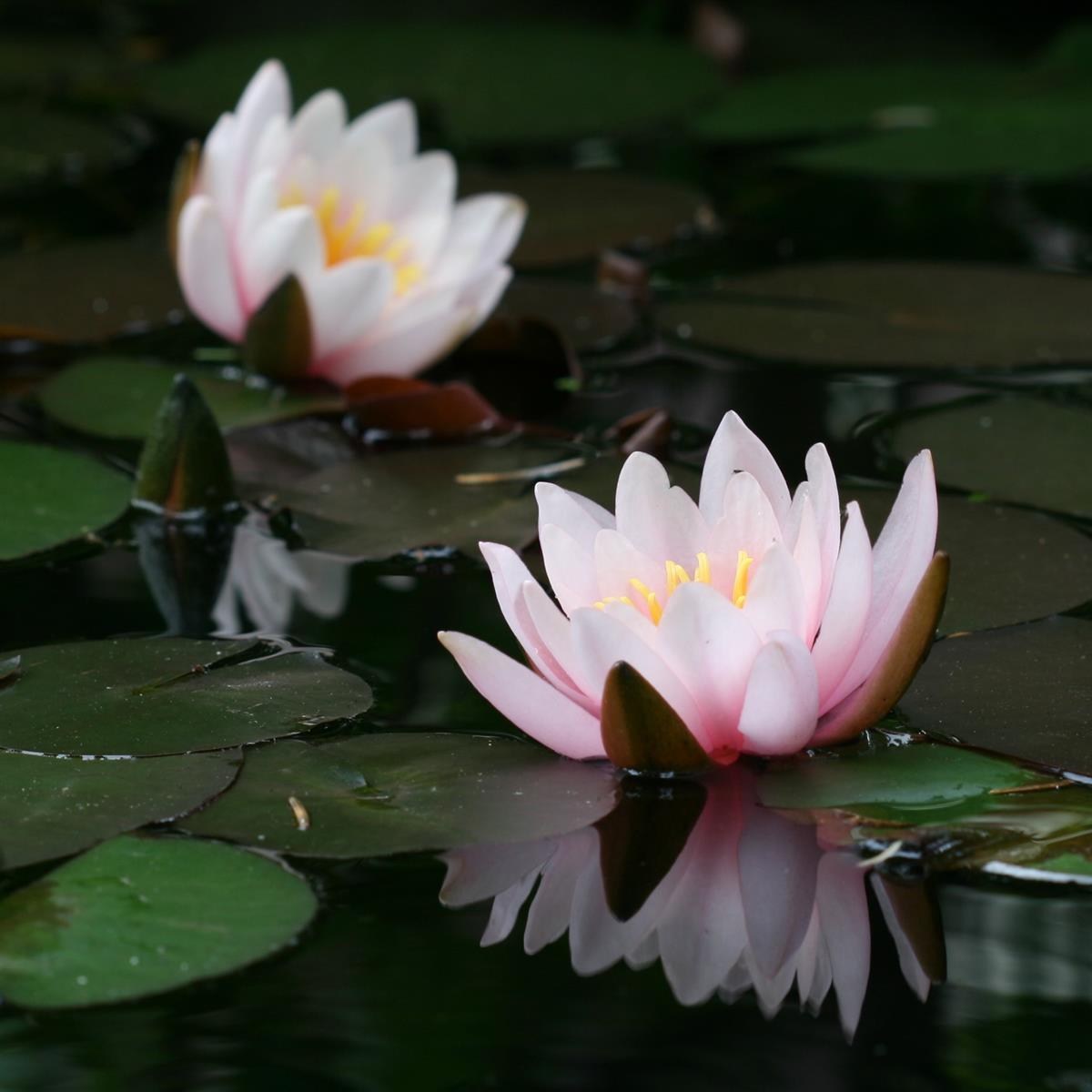 Water_plant-picture