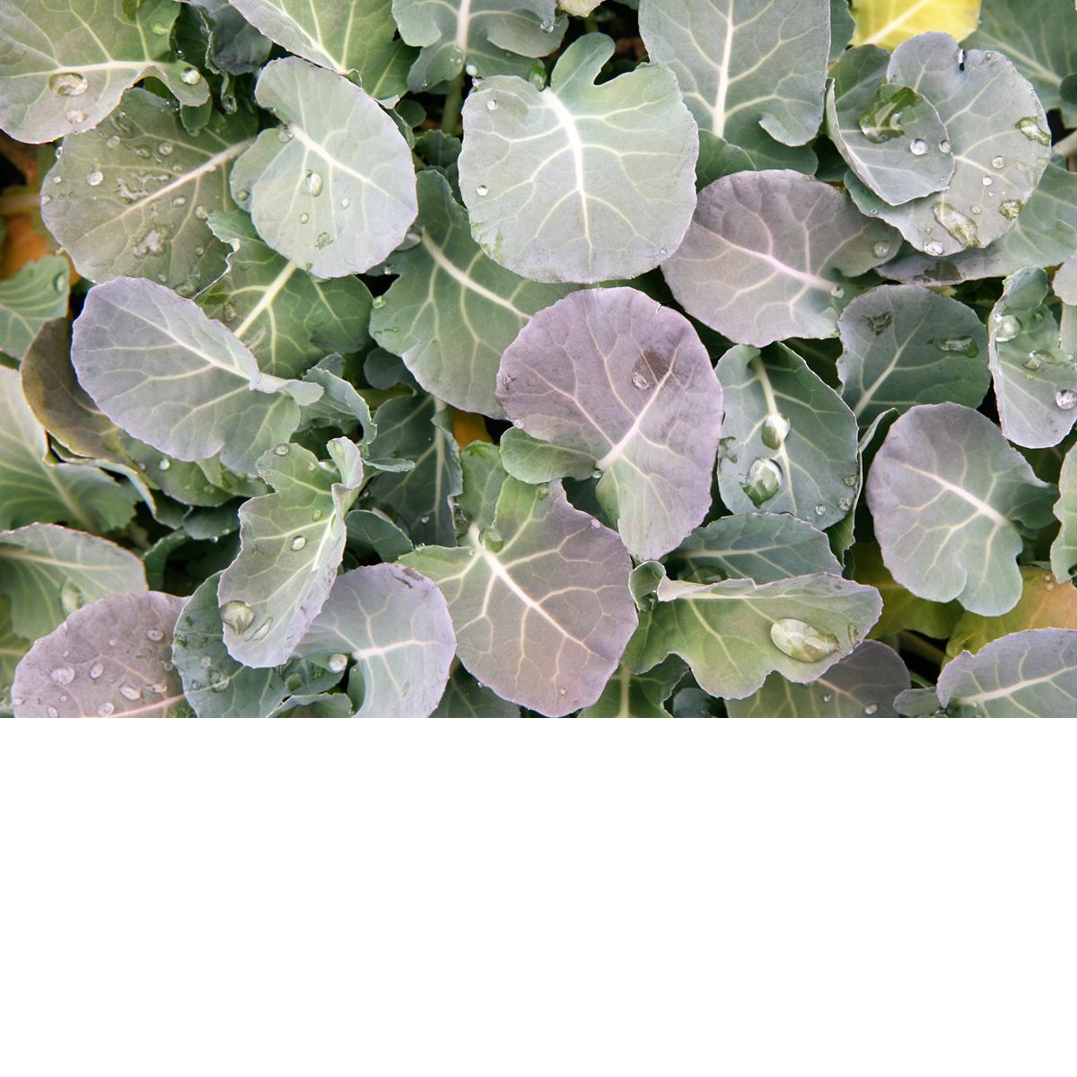 Herb_vegetable_picture